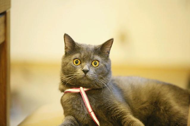 cat-portrait-pet-cute-animal picture material