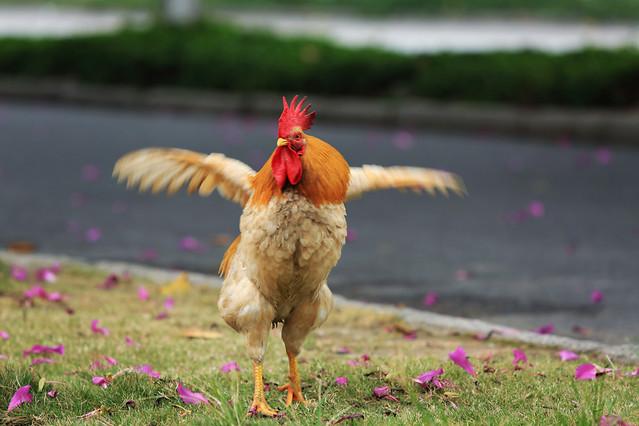grass-chicken-no-person-nature-outdoors 图片素材