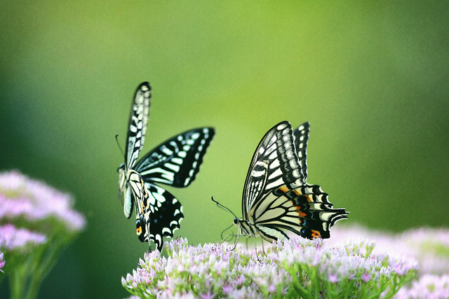 butterfly-insect-nature-summer-flower picture material