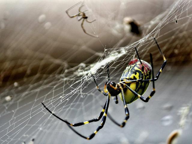 spider-spiderweb-arachnid-cobweb-insect picture material
