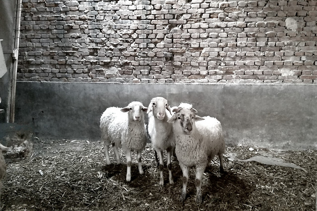 farm-sheep-agriculture-livestock-rural picture material