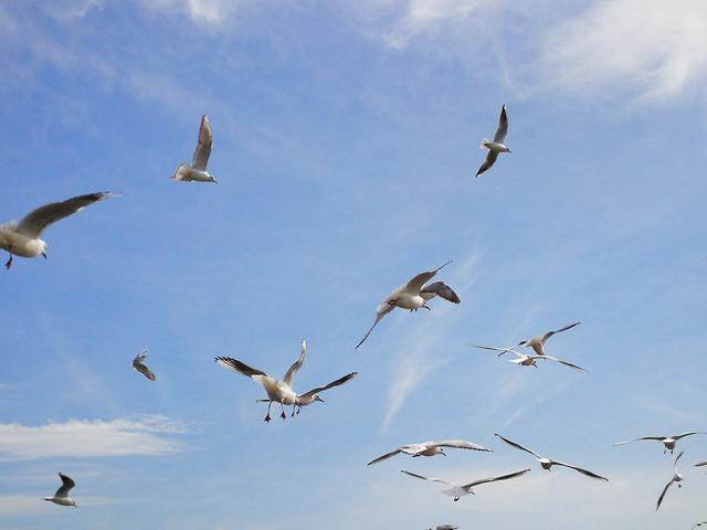 bird-seagulls-wildlife-flight-no-person picture material