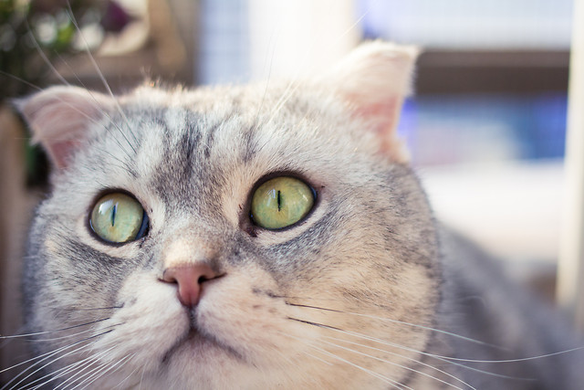 cat-animal-portrait-pet-eye 图片素材