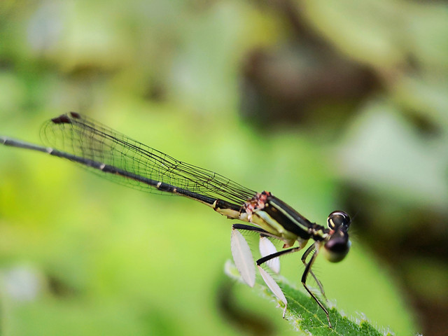 dragonfly-insect-no-person-nature-wildlife picture material