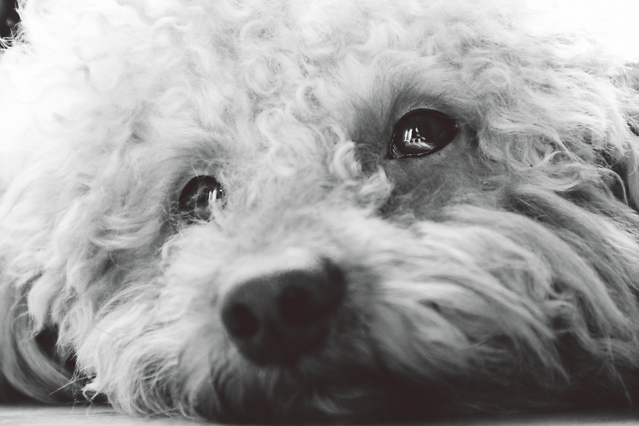 dog-mammal-poodle-canine-pet picture material