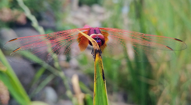 nature-dragonfly-insect-color-grass picture material