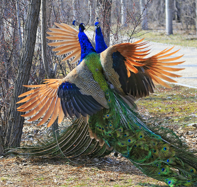 bird-wildlife-nature-peacock-zoo picture material