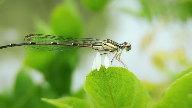 nature-insect-leaf-dragonfly-damselfly picture material