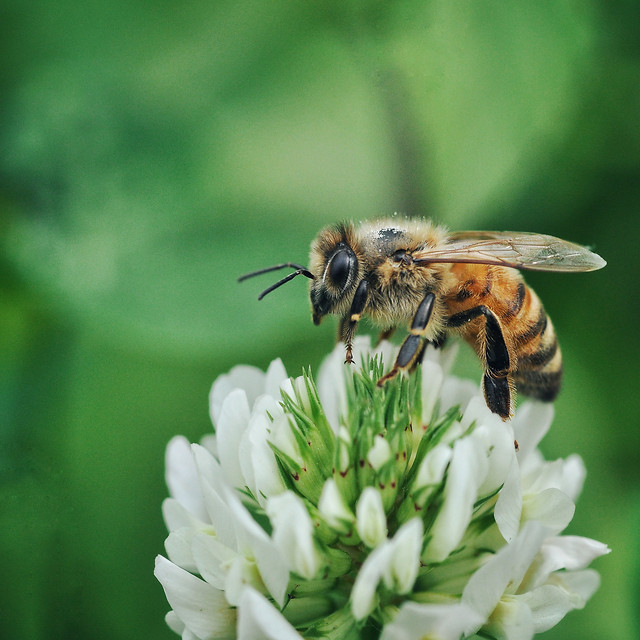 bee-insect-honey-nature-pollen picture material