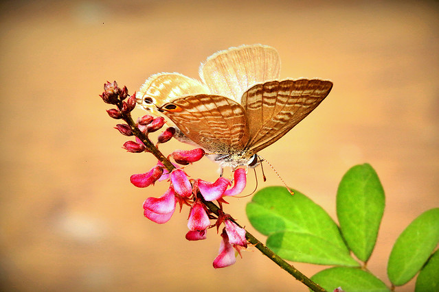 butterfly-insect-nature-flower-leaf picture material