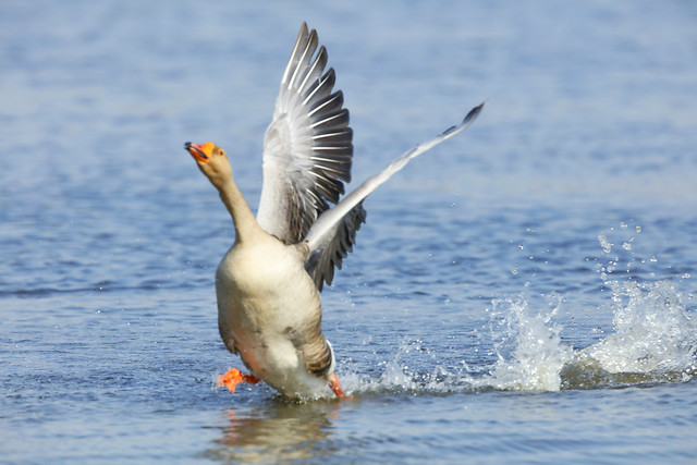 bird-water-wildlife-duck-no-person picture material