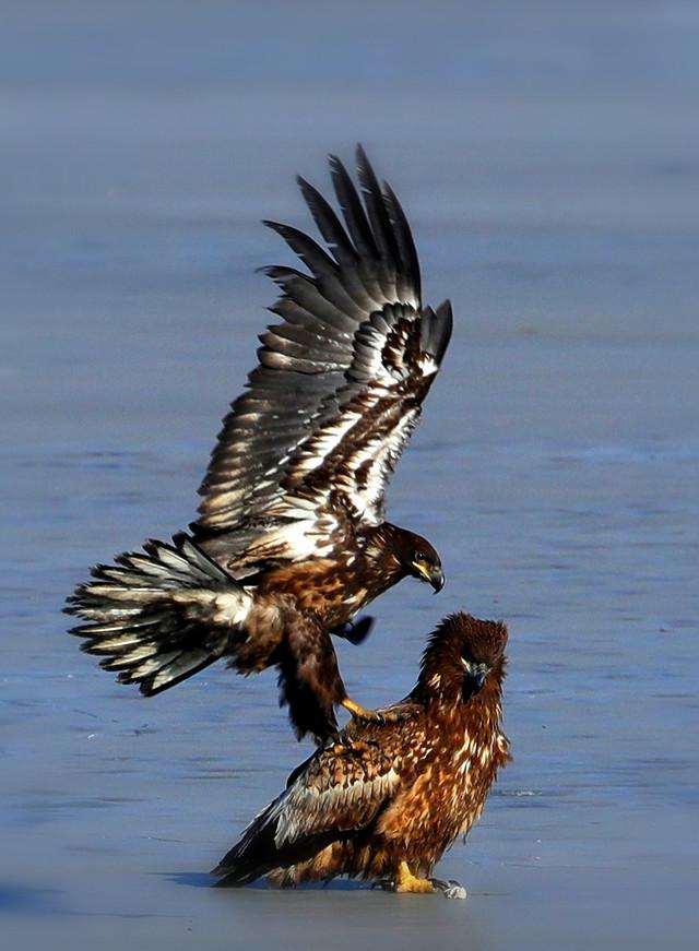 raptor-bird-eagle-wildlife-prey picture material
