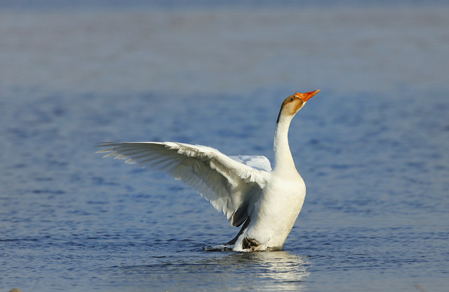 bird-water-wildlife-no-person-waterfowl picture material