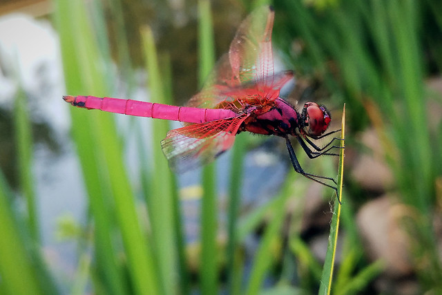 insect-nature-dragonfly-grass-leaf picture material