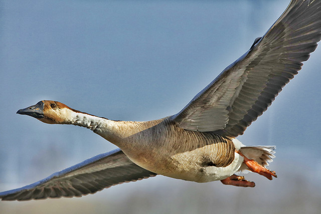 bird-wildlife-flight-animal-fly picture material