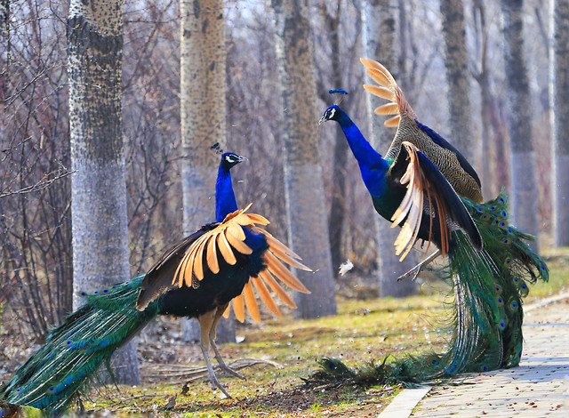bird-nature-feather-peafowl-wildlife picture material