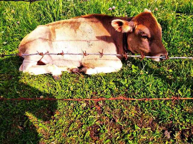 cow-cattle-farm-mammal-agriculture picture material