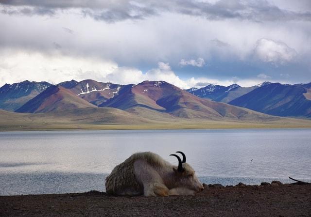 yak-tibet-highland-sky-mountain-range picture material