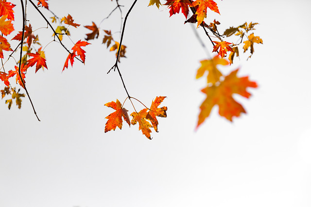 leaf-fall-maple-season-nature picture material
