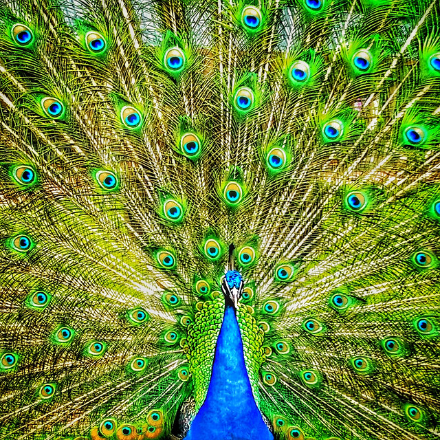 peacock-peafowl-feather-bird-ritual-custom picture material
