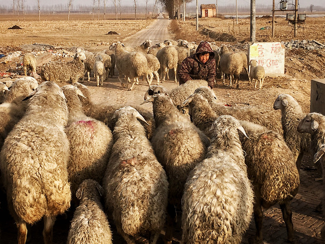sheep-livestock-agriculture-mammal-farm picture material