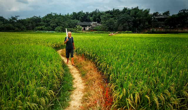 rice-agriculture-cropland-farm-field picture material