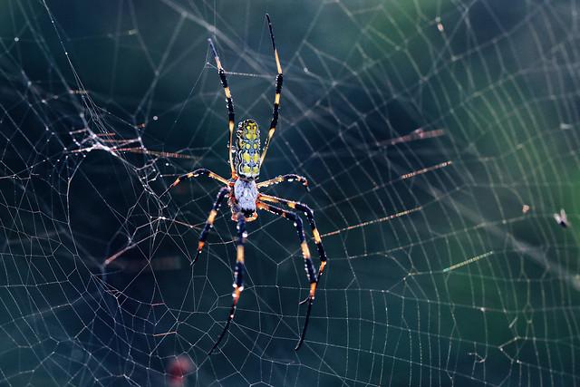 spider-spiderweb-arachnid-cobweb-trap picture material