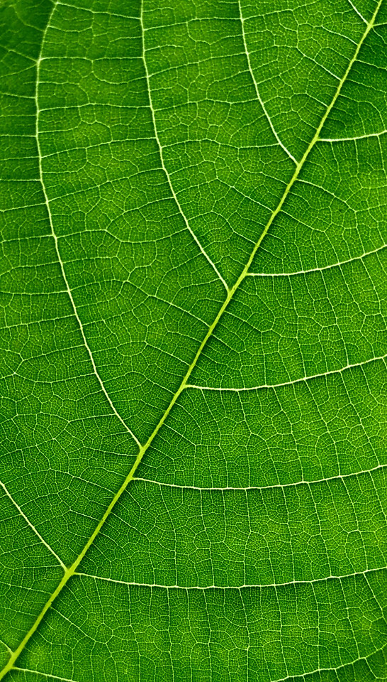 leaf-vein-flora-photosynthesis-asymmetry picture material