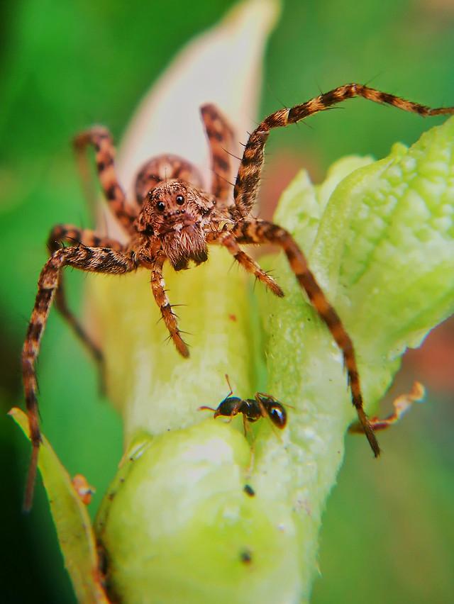 spider-insect-arachnid-invertebrate-nature picture material