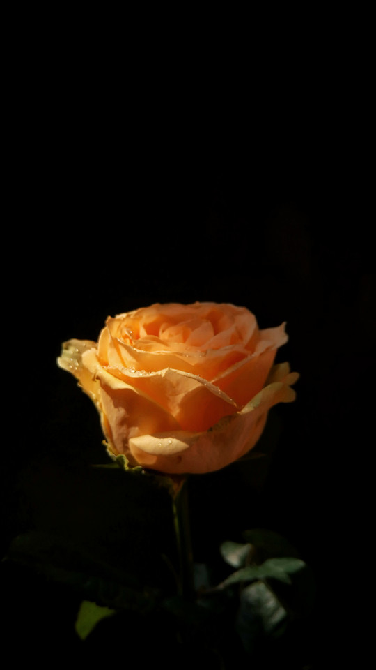 flower-rose-no-person-love-desktop picture material