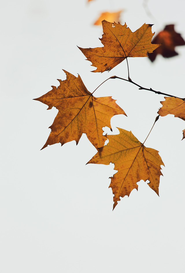 maple-fall-leaf-bright-desktop picture material