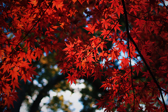 leaf-fall-tree-no-person-red picture material