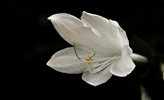 flower-nature-flora-petal-white picture material