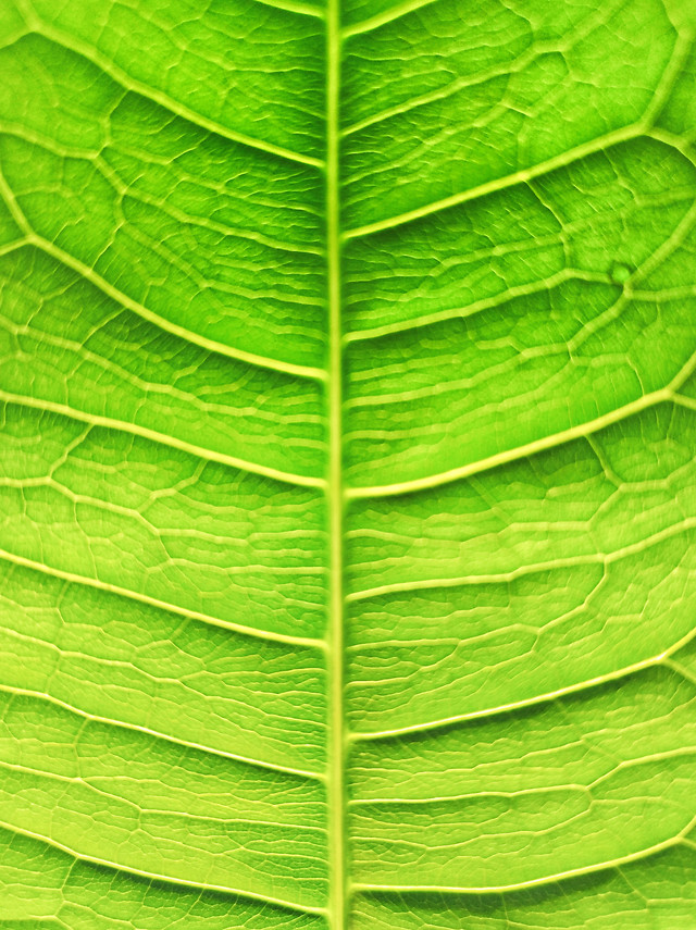 leaf-flora-growth-nature-photosynthesis picture material