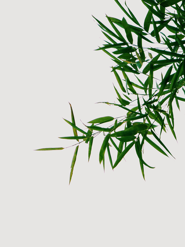 leaf-flora-bamboo-nature-desktop picture material