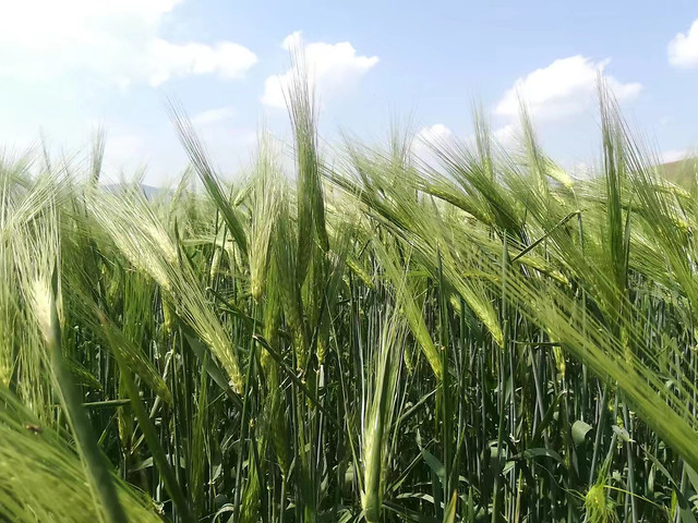 wheat-cereal-pasture-rural-field picture material