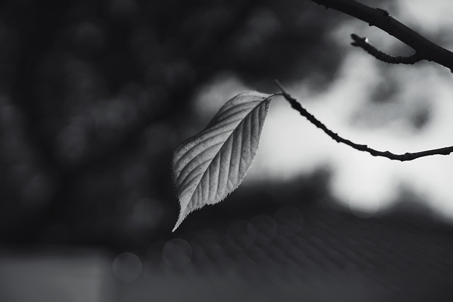 monochrome-leaf-nature-no-person-tree picture material
