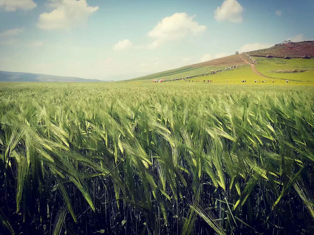 cereal-wheat-rural-pasture-corn picture material