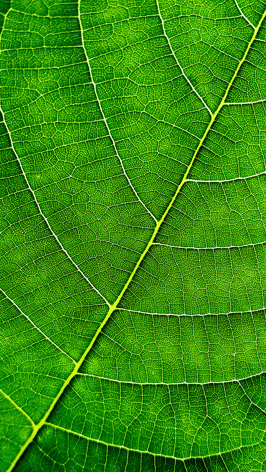leaf-flora-vein-photosynthesis-desktop picture material