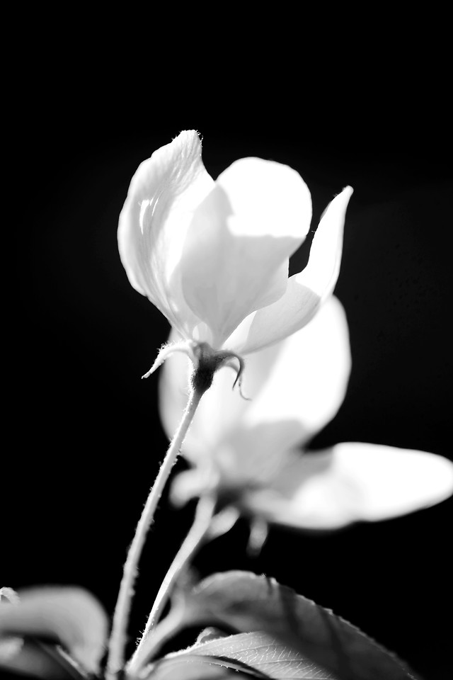 flower-nature-flora-monochrome-leaf 图片素材