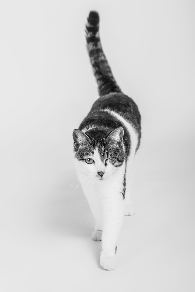 cat-portrait-one-white-black-white 图片素材