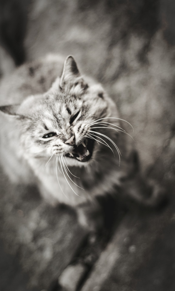 cat-portrait-animal-nature-whiskers picture material