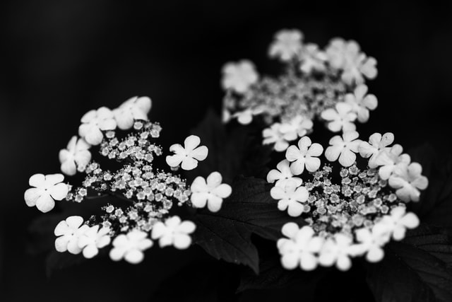 flower-flora-petal-dark-tone-white-flower picture material