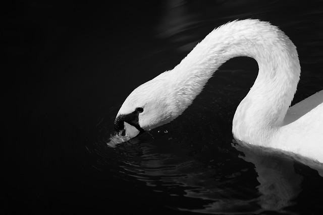 swan-bird-water-no-person-monochrome picture material
