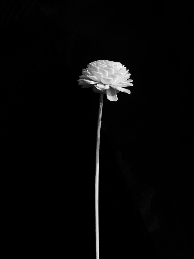 flower-no-person-white-nature-black 图片素材