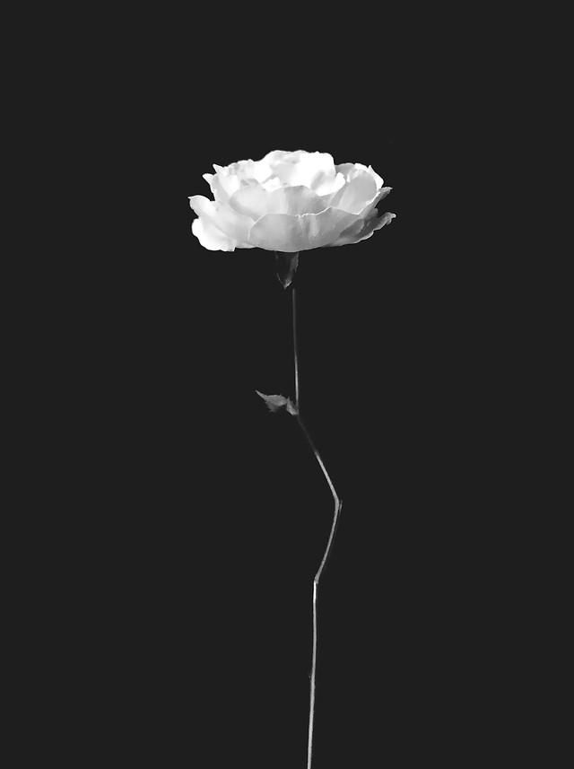 nature-no-person-flower-black-white-monochrome 图片素材