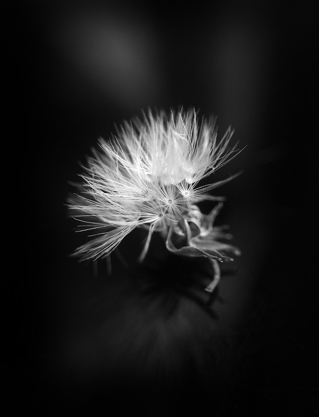 dandelion-flame-monochrome-flower-fireworks picture material