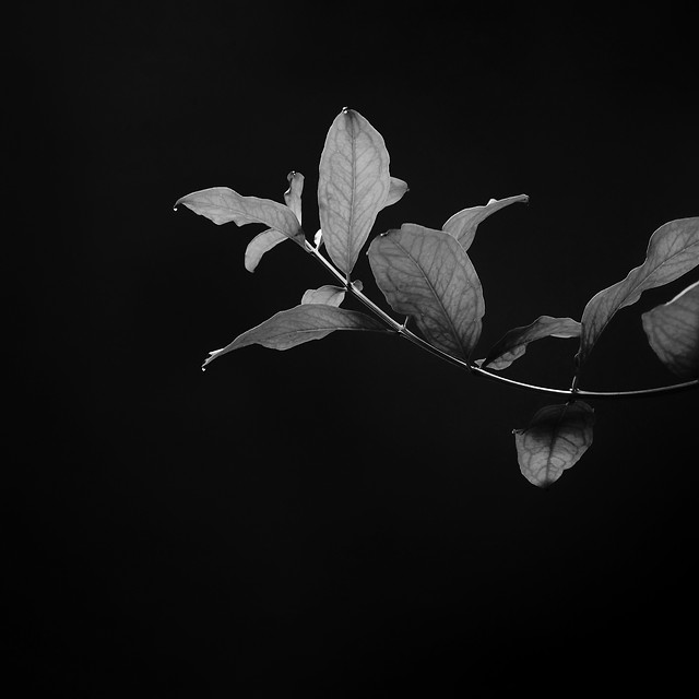 monochrome-leaf-flower-flora-tree picture material