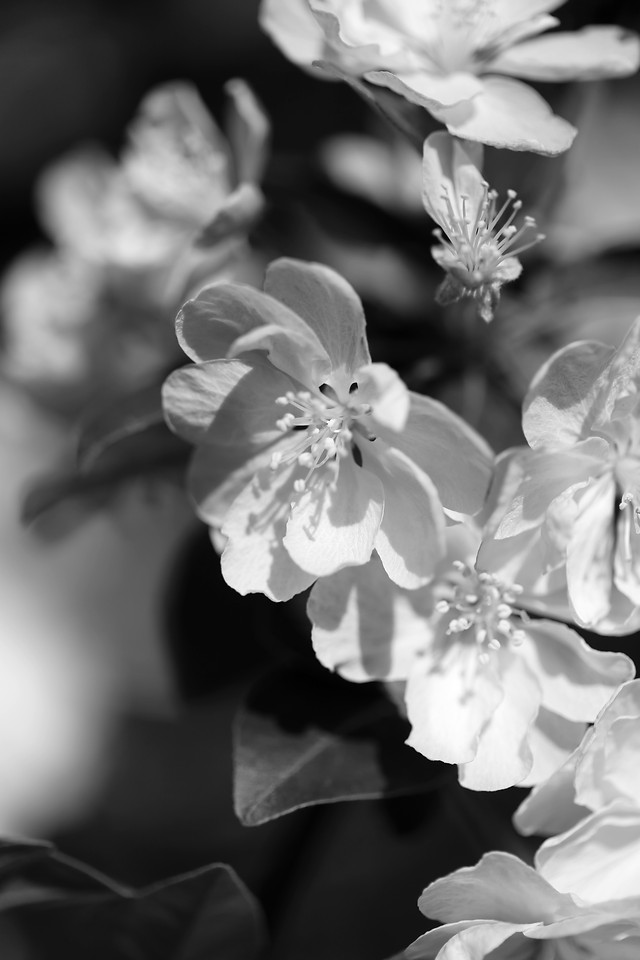 flower-nature-monochrome-flora-leaf picture material
