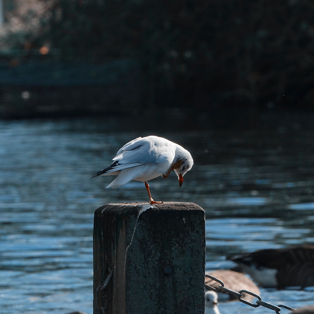 bird-water-wildlife-seagulls-lake 图片素材